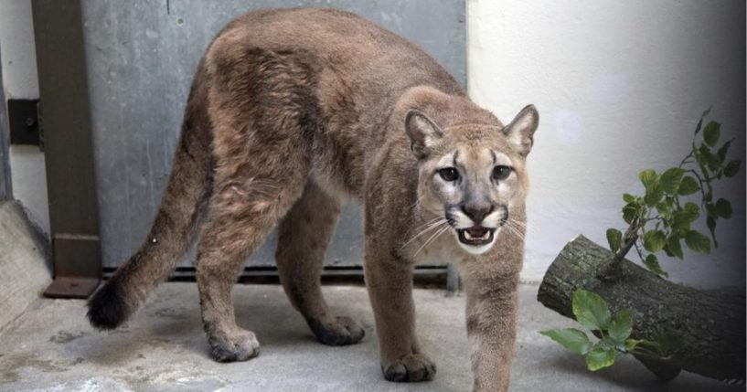 An 80-pound cougar is seen at the Bronx Zoo in New York on Monday.