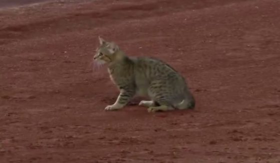 A cat is seen at Yankee Stadium in New York City during a game Monday.