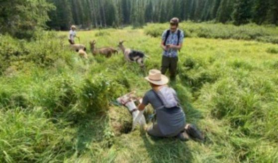 Good samaritans rescue a 300-pound goat that got stuck in a ditch in Meeker, Colorado.