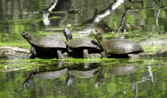 Western pond turtles bask on a log in an Oregon wetland.