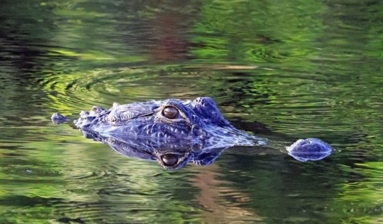 An alligator swims through the Wakodahatchee Wetlands near Delray Beach, Florida, in this file photo from March 28, 2021.