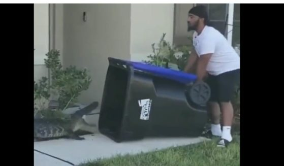 A video of Florida resident Eugene Bozzi trapping a wayward alligator in a rolling recycle bin has gone viral on social media.