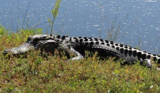 A woman was attacked by an alligator on Thursday on Hilton Head Island, South Carolina.