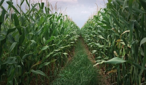 A mature cornfield is seen in this stock photo shot in Stark City, Missouri.
