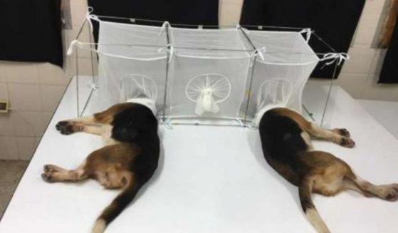 Anthony Fauci's National Institute of Allergy and Infectious Diseases sent part of a $375,800 grant to a lab in Tunisia so scientists could perform cruel experiments on dogs.