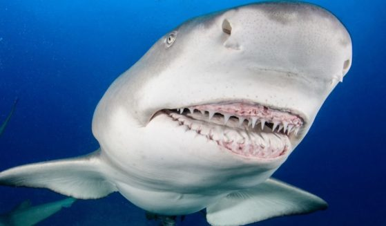 A lemon shark bares its teeth to a diver off West Palm Beach, Florida, in this stock photo.