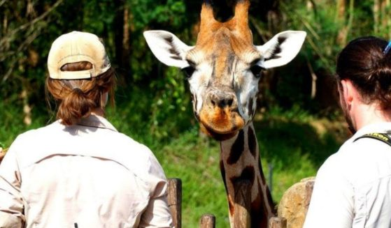 Zookeepers and a giraffe are seen at the Australia Zoo.