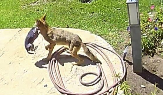 This screen shot shows the moment a coyote grabs a Chihuahua from its backyard.