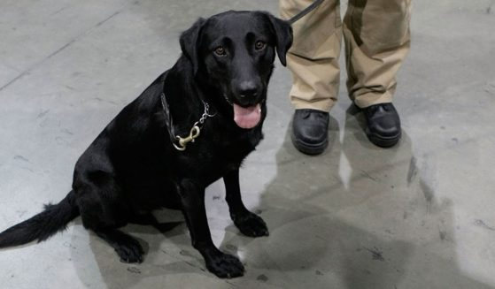 If Sen. Chuck Schumer has his way, Transportation Security Administration canines like Susie, seen in this file photo from July 2008 at Virginia's Dulles International Airport, will fill in any employment gaps after the Nov. 22 federal vaccine deadline passes. As of Wednesday, only about 60 percent of TSA employees had been vaccinated.