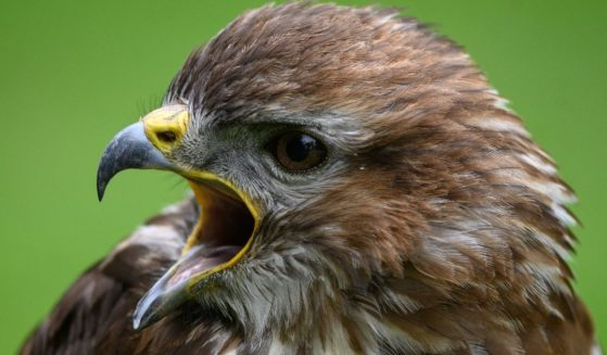 A Eurasian Buzzard is seen at the British Falconry Fair at the National Center for Birds of Prey at Duncombe Park in northern England on June 27.