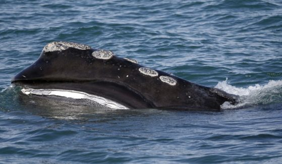 In this March 28, 2018, file photo, a North Atlantic right whale feeds on the surface of Cape Cod bay off the coast of Plymouth, Massachusetts