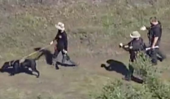 Search teams use a cadaver-seeking dog to search the Carlton Nature Reserve in Sarasota County, Florida.