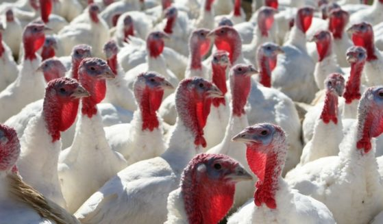 Turkeys are seen in this stock image.